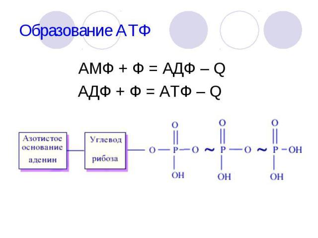 АМФ + Ф = АДФ – Q АМФ + Ф = АДФ – Q АДФ + Ф = АТФ – Q