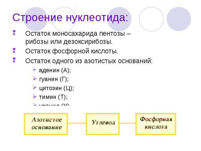 Остаток моносахарида пентозы – рибозы или дезоксирибозы. Остаток моносахарида пентозы – рибозы или дезоксирибозы. Остаток фосфорной кислоты. Остаток одного из азотистых оснований: аденин (А); гуанин (Г); цитозин (Ц); тимин (Т); урацил (У).