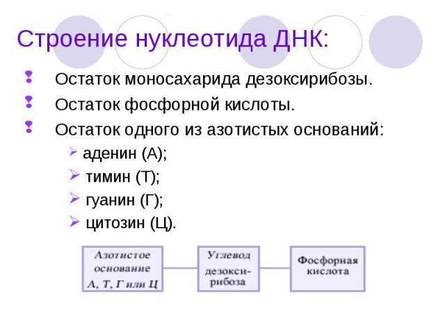 Остаток моносахарида дезоксирибозы. Остаток моносахарида дезоксирибозы. Остаток фосфорной кислоты. Остаток одного из азотистых оснований: аденин (А); тимин (Т); гуанин (Г); цитозин (Ц).