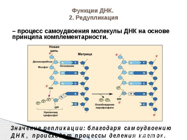 Функции ДНК. 2. Редупликация – процесс самоудвоения молекулы ДНК на основе принципа комплементарности.