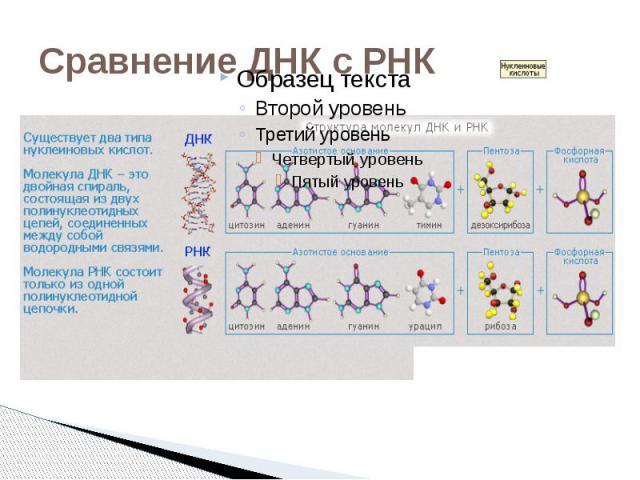 Сравнение ДНК с РНК