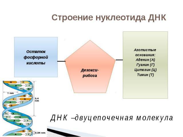 Строение нуклеотида ДНК