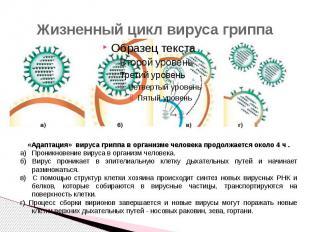 Жизненный цикл вируса гриппа