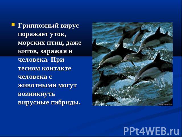 Гриппозный вирус поражает уток, морских птиц, даже китов, заражая и человека. При тесном контакте человека с животными могут возникнуть вирусные гибриды. Гриппозный вирус поражает уток, морских птиц, даже китов, заражая и человека. При тесном контак…