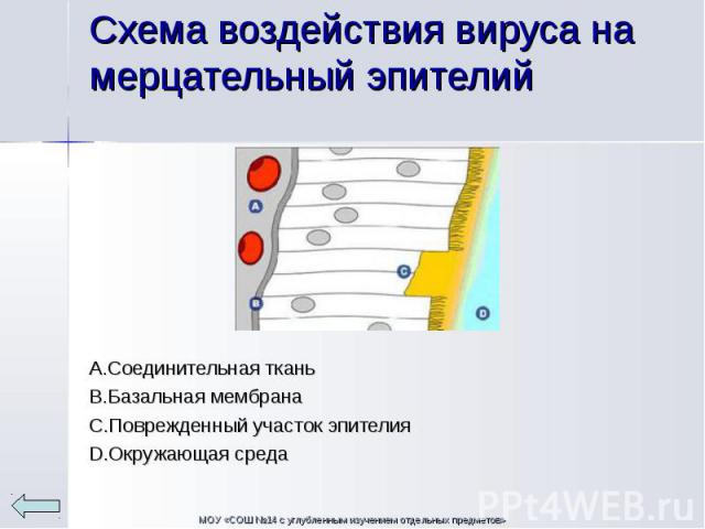 А.Соединительная ткань В.Базальная мембрана С.Поврежденный участок эпителия D.Окружающая среда