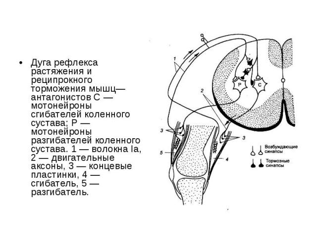 Дуга рефлекса растяжения и реципрокного торможения мышц—антагонистов С — мотонейроны сгибателей коленного сустава; Р — мотонейроны разгибателей коленного сустава. 1 — волокна Iа, 2 — двигательные аксоны, 3 — концевые пластинки, 4 — сгибатель, 5 — ра…