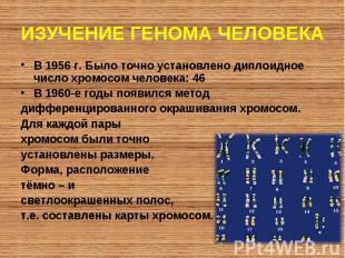 В 1956 г. Было точно установлено диплоидное число хромосом человека: 46 В 1956 г