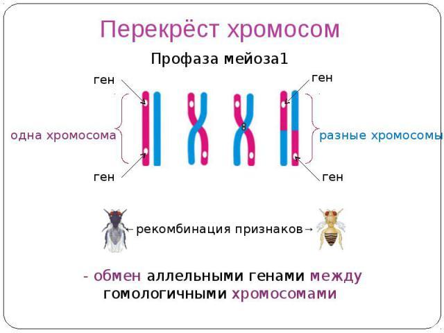 Перекрёст хромосом