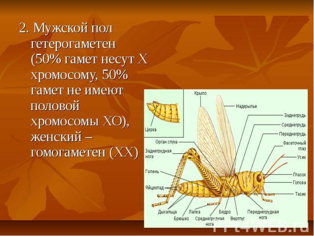 2. Мужской пол гетерогаметен (50% гамет несут Х хромосому, 50% гамет не имеют половой хромосомы ХО), женский – гомогаметен (ХХ) 2. Мужской пол гетерогаметен (50% гамет несут Х хромосому, 50% гамет не имеют половой хромосомы ХО), женский – гомогаметен (ХХ)