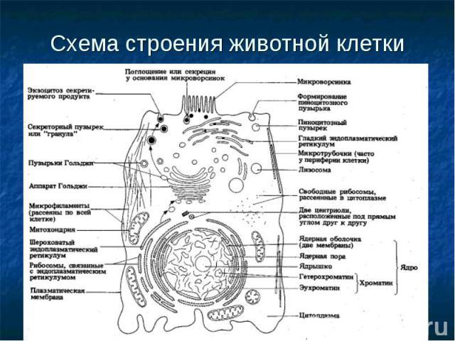 Схема строения животной клетки