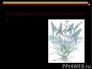 Модификационная изменчивость Изменчивость формы листьев у стрелолиста, укореняющ