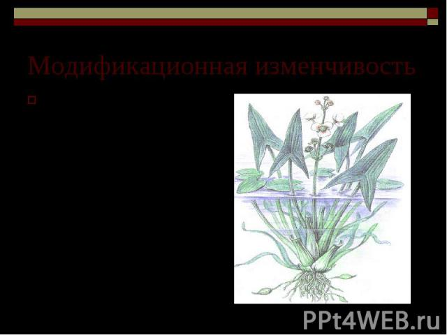 Модификационная изменчивость Изменчивость формы листьев у стрелолиста, укореняющегося под водой. Три вида листьев. Различия определяются степенью их освещенности, а набор генов в клетках каждого листа одинаков.