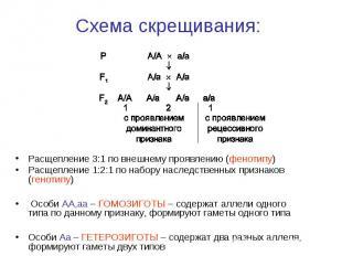Расщепление 3:1 по внешнему проявлению (фенотипу) Расщепление 3:1 по внешнему пр