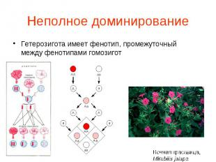 Гетерозигота имеет фенотип, промежуточный между фенотипами гомозигот Гетерозигот