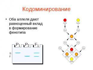 Оба аллеля дают равноценный вклад в формирование фенотипа Оба аллеля дают равноц