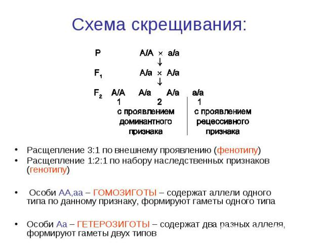 Расщепление 3:1 по внешнему проявлению (фенотипу) Расщепление 3:1 по внешнему проявлению (фенотипу) Расщепление 1:2:1 по набору наследственных признаков (генотипу) Особи AA,aa – ГОМОЗИГОТЫ – содержат аллели одного типа по данному признаку, формируют…