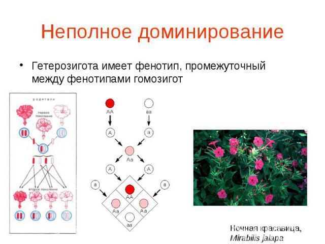 Гетерозигота имеет фенотип, промежуточный между фенотипами гомозигот Гетерозигота имеет фенотип, промежуточный между фенотипами гомозигот