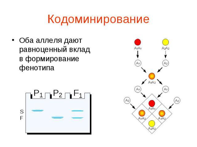Оба аллеля дают равноценный вклад в формирование фенотипа Оба аллеля дают равноценный вклад в формирование фенотипа