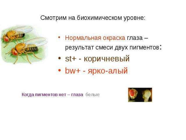 Нормальная окраска глаза – результат смеси двух пигментов: Нормальная окраска глаза – результат смеси двух пигментов: st+ - коричневый bw+ - ярко-алый