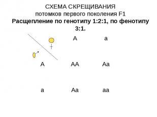СХЕМА СКРЕЩИВАНИЯ потомков первого поколения F1 Расщепление по генотипу 1:2:1, п