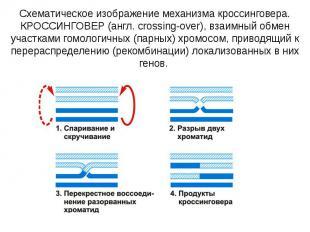 Схематическое изображение механизма кроссинговера. КРОССИНГОВЕР (англ. crossing-