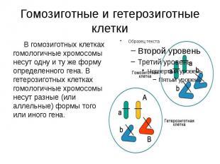 Гомозиготные и гетерозиготные клетки В гомозиготных клетках гомологичные хромосо