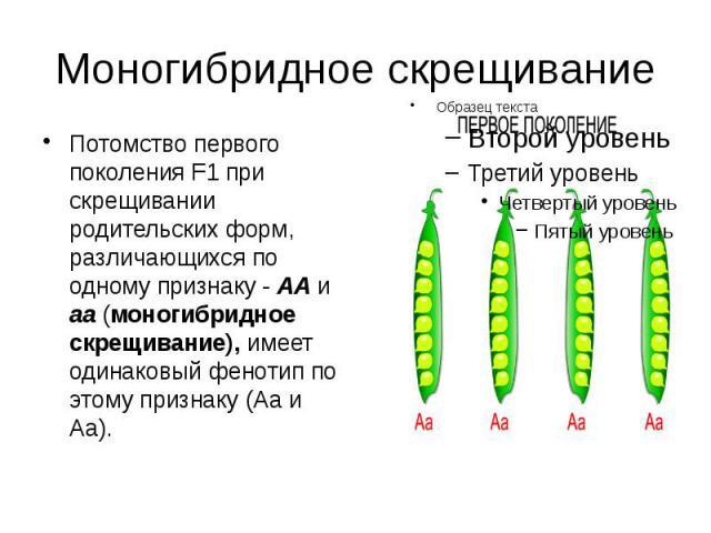 Моногибридное скрещивание Потомство первого поколения F1 при скрещивании родительских форм, различающихся по одному признаку - АА и аа (моногибридное скрещивание), имеет одинаковый фенотип по этому признаку (Аа и Аа).