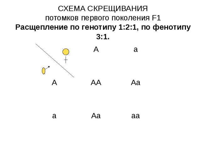 СХЕМА СКРЕЩИВАНИЯ потомков первого поколения F1 Расщепление по генотипу 1:2:1, по фенотипу 3:1.