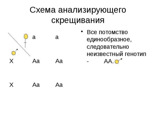 Схема анализирующего скрещивания Все потомство единообразное, следовательно неизвестный генотип - АА.