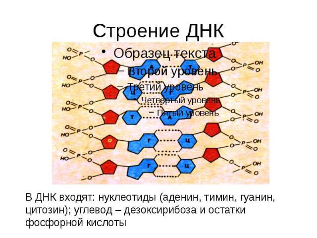 Строение ДНК