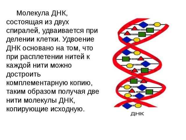 Молекула ДНК, состоящая из двух спиралей, удваивается при делении клетки. Удвоение ДНК основано на том, что при расплетении нитей к каждой нити можно достроить комплементарную копию, таким образом получая две нити молекулы ДНК, копирующие исходную. …