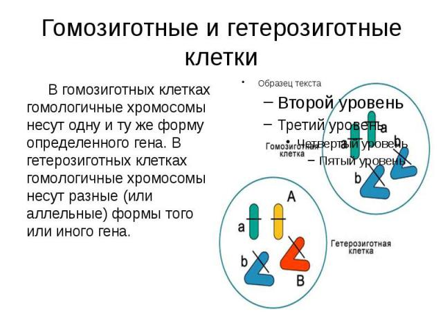 Гомозиготные и гетерозиготные клетки В гомозиготных клетках гомологичные хромосомы несут одну и ту же форму определенного гена. В гетерозиготных клетках гомологичные хромосомы несут разные (или аллельные) формы того или иного гена.