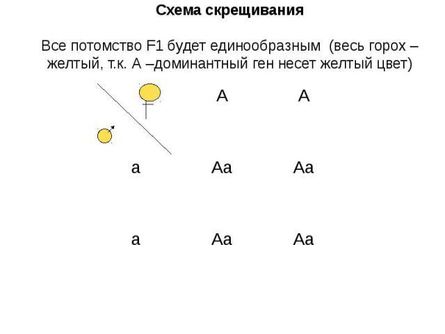 Схема скрещивания Все потомство F1 будет единообразным (весь горох – желтый, т.к. А –доминантный ген несет желтый цвет)