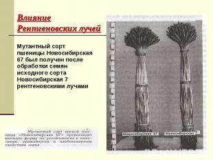 Мутантный сорт пшеницы Новосибирская 67 был получен после обработки семян исходн