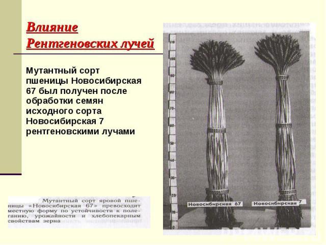 Мутантный сорт пшеницы Новосибирская 67 был получен после обработки семян исходного сорта Новосибирская 7 рентгеновскими лучами