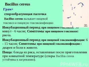Bacillus cereus Bacillus cereus Грам+ спорообразующая палочка Bacillus cereus вы