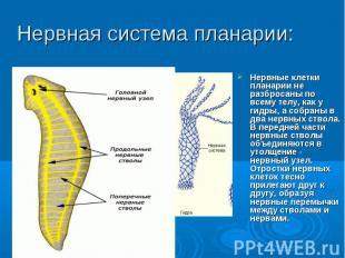Нервные клетки планарии не разбросаны по всему телу, как у гидры, а собраны в дв