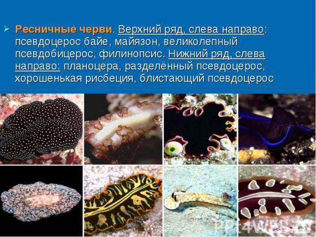 Ресничные черви. Верхний ряд, слева направо: псевдоцерос байе, майязон, великолепный псевдобицерос, филинопсис. Нижний ряд, слева направо: планоцера, разделённый псевдоцерос, хорошенькая рисбеция, блистающий псевдоцерос Ресничные черви. Верхний ряд,…
