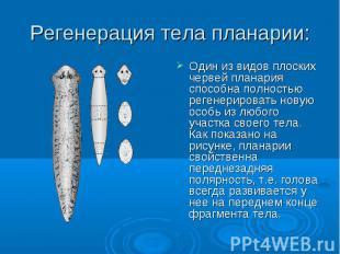 Регенерация тела планарии: Один из видов плоских червей планария способна полнос