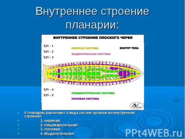Внутреннее строение планарии: У планарии различают 4 вида систем органов во внутреннем строении: 1.-нервная; 2.-пищеварительная; 3.-половая; 4.-Выделительная
