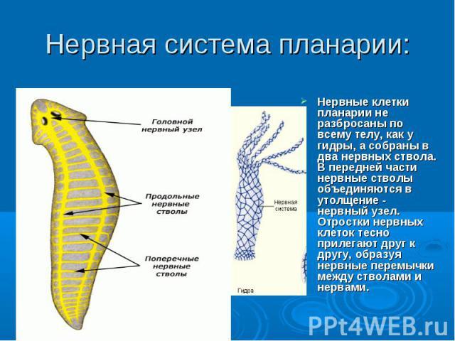 Нервная система планарии: