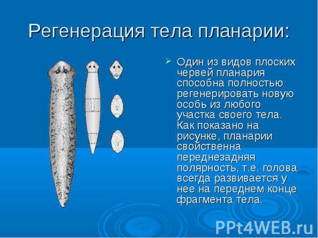 Регенерация тела планарии: Один из видов плоских червей планария способна полностью регенерировать новую особь из любого участка своего тела. Как показано на рисунке, планарии свойственна переднезадняя полярность, т.е. голова всегда развивается у не…