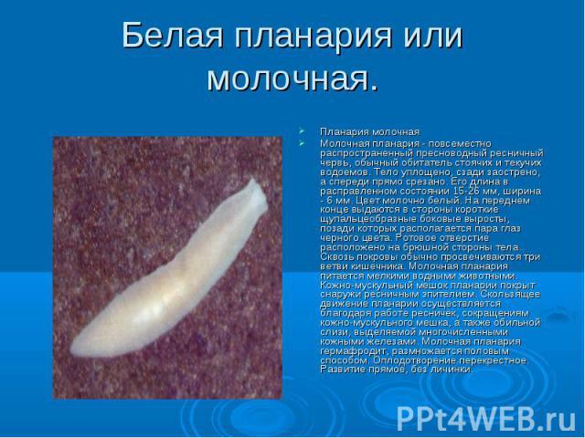 Белая планария или молочная. Планария молочная Молочная планария - повсеместно распространенный пресноводный ресничный червь, обычный обитатель стоячих и текучих водоемов. Тело уплощено, сзади заострено, а спереди прямо срезано. Его длина в расправл…