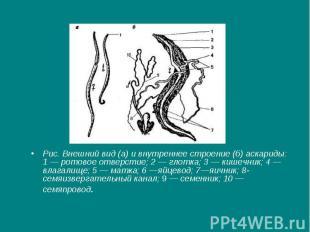 Рис. Внешний вид (а) и внутреннее строение (б) аскариды: 1 — ротовое отверстие;