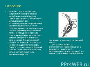 Строение Размеры тела колеблются от микроскопических (почвенные черви) до нескол