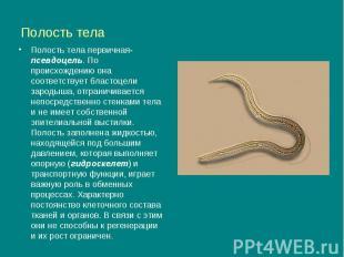 Полость тела Полость тела первичная- псевдоцель. По происхождению она соответств