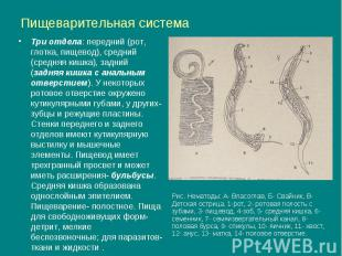 Пищеварительная система Три отдела: передний (рот, глотка, пищевод), средний (ср
