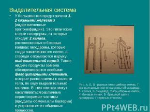 Выделительная система У большинства представлена 1-2 кожными железами (видоизмен