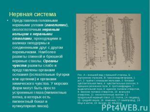 Нервная система Представлена головными нервными узлами (ганглиями), окологлоточн