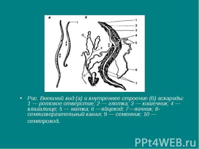Рис. Внешний вид (а) и внутреннее строение (б) аскариды: 1 — ротовое отверстие; 2 — глотка; 3 — кишечник; 4 — влагалище; 5 — матка; 6 —яйцевод; 7—яичник; 8-семяизвергательный канал; 9 — семенник; 10 — семяпровод. Рис. Внешний вид (а) и внутреннее ст…